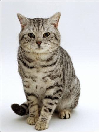 Quelle est la couleur de ce chat ?