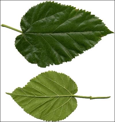 Lequel de ces arbres est cultivé notamment pour son feuillage ?