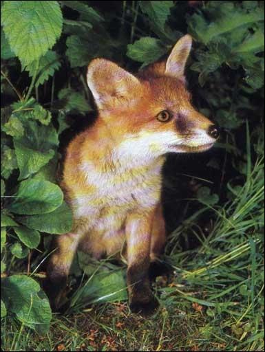 Dans un français ancien, quel était le nom du renard ?
