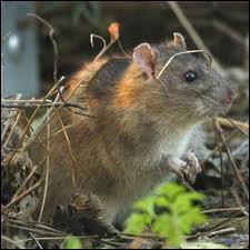 Quel rongeur est aussi appelé rat d'égout ou rat gris ?