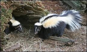 Quel mammifère carnivore d'Amérique est aussi appelé moufette ?