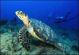 Quelle grande tortue carnivore des mers chaudes est aussi appelée caouanne ?
