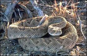 Quel serpent venimeux est aussi appelé serpent à sonnette ?