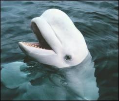Quel mammifère cétacé vivant dans les eaux arctiques est aussi appelé baleine blanche ?