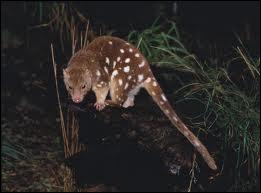 Quel mammifère marsupial d'Australie arboricole et carnivore est aussi appelé chat marsupial ?