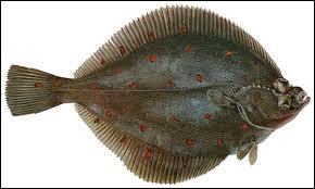 Quel poisson plat commun dans la Manche et l'Atlantique est aussi appelé carrelet ?