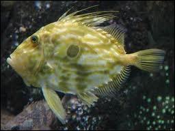 Quel poisson commun dans toutes les mers tempérées est aussi appelé zée ?