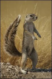 Quel rongeur d'Afrique voisin de l'écureuil est aussi appelé rat palmiste ?