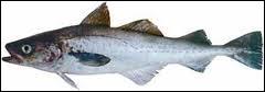 Quel poisson commun sur les côtes de l'Atlantique et de la Manche est aussi appelé lieu noir ?