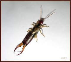 Quel insecte est aussi appelé perce-oreille ?