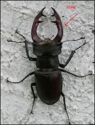 Quel insecte coléoptère est aussi appelé cerf-volant ?