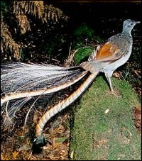 Quel passereau d'Australie est aussi appelé oiseau-lyre ?