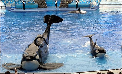 Combien d'orques sont nées avec Tilikum comme père ?