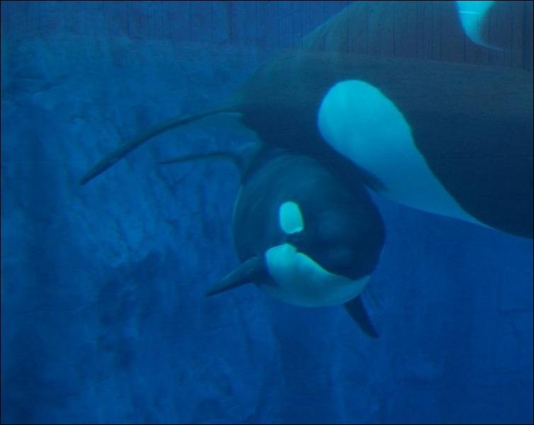 Quelle orque captive a pour père son frère ?
