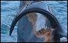 A quelle orque appartient cette nageoire dorsale ?