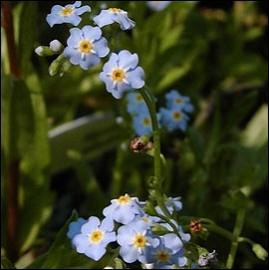 Quelles sont ces petites fleurs bleues ?