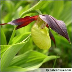 Le Sabot de Venus est-il un lys ou une orchidée ?