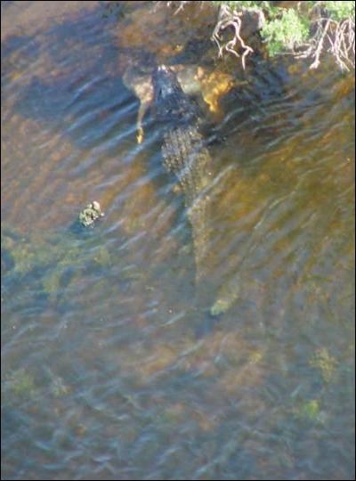 Il s'ébat dans le bayou, surveillé par des cajuns !