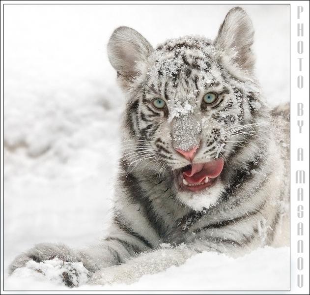 Il vit une partie de l'année dans la neige et le froid, plus grand félin du monde, il est protégé (tant bien que mal) par les autorités ...