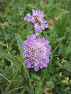 Fleur des champs que l'on rencontre souvent dans la campagne :