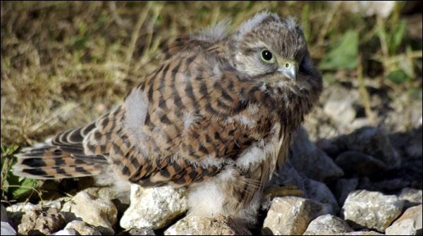 Et voici le petit du faucon :