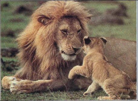 Bébé lion :