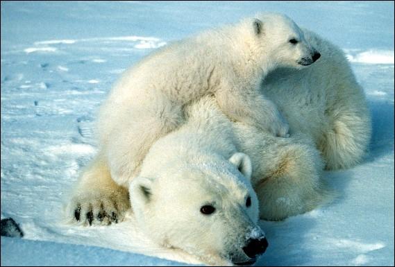 Magnifique image de tendresse avec cette maman ours et son petit :