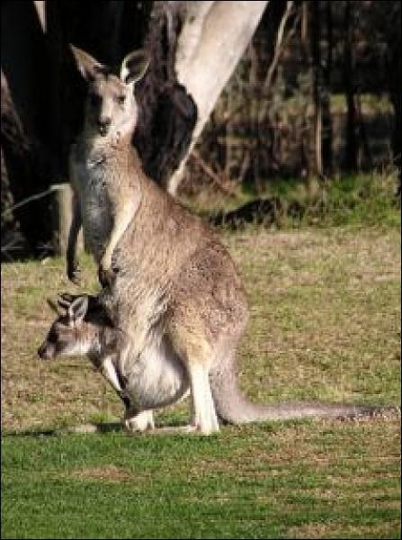 En France le bébé kangourou n'a pas de nom spécifique, mais comment est-il surnommé en Australie ?