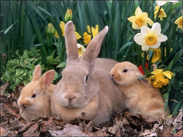 Quel nom porte le petit du lapin ?
