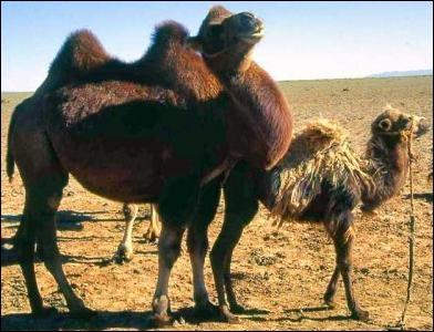 Comment se nomme le bébé chameau ?