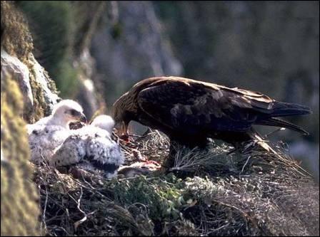 Comment s'appelle le bébé de l'aigle ?