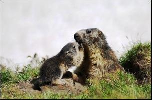 Quel est le petit de la marmotte ?
