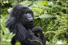 Comment s'appelle le bébé du gorille ?
