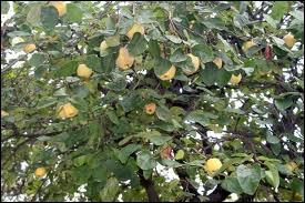 Comment s'appelle l'arbre fruitier produisant le coing ?