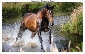 Quelle est la race de ce cheval venant d'Allemagne ?