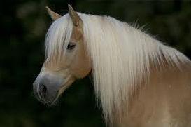 Races des chevaux et poneys