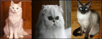 Quelle race de chat est évoquée dans la chanson  Le chat  de Pow Wow ?