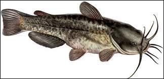 Quel poisson est aussi appelé poisson-chat à cause de ses barbillons ressemblant aux moustaches du chat ?