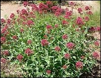 Quelle plante est aussi appelée herbe-aux-chats car son odeur attire les chats ?