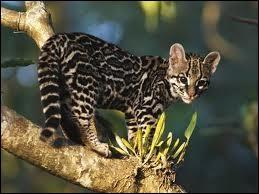Quel félin du Mexique et de l'Amérique du Sud est aussi appelé chat-tigre ?
