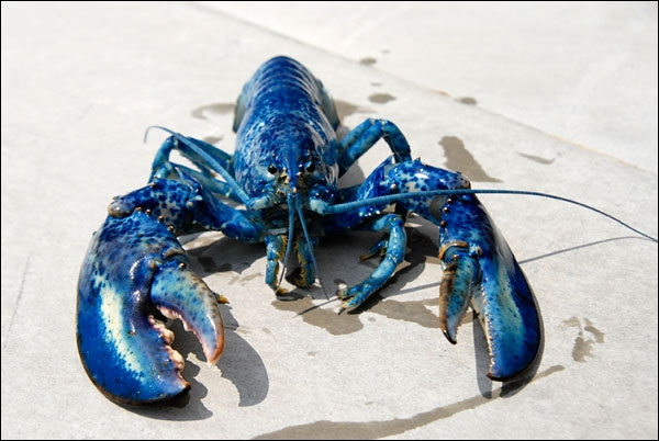 Ce magnifique crustacé d'un bleu presqu'électrique est un homard... ?