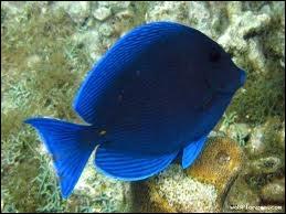 Qu'appelle-t-on les poissons bleus, qui se différencient des poissons blancs (celui de la photo est un poisson exotique, juste pour la couleur, un chirurgien bleu) ?