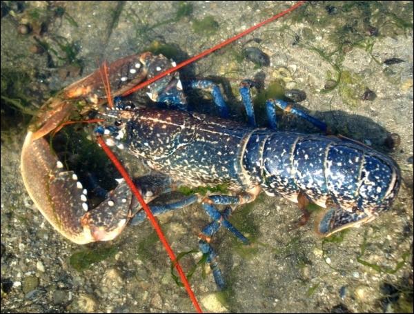 Cet autre magnifique crustacé bleu est un homard... ?