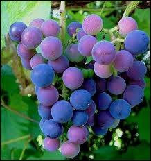 Elle est bien connue la belle couleur bleu sombre des raisins qu'on dit noirs. Mais fait-on du vin blanc avec ces raisins là ?