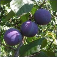 Sur cette branche, ce sont des prunes bleues, autre fruit délicieux. Sur la peau, la poudre blanche est appelée pruine, on la trouve aussi sur les raisins. Elle est un signe... ?