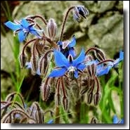 Encore une fleur comestible d'une très belle couleur bleue. De quelle fleur s'agit-il ?
