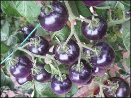 Etonnante variété de tomates bleues, issues de la recherche ! Ce n'est pas un OGM, mais une création par hybridation. Est-elle bleue car on a augmenté la quantité de lycopène ou car on l'a réduite ?