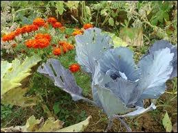 Voici un joli chou bleu. C'est un légume cultivé depuis la plus haute Antiquité pour ses vertus. Il contient de l'iode, du calcium mais surtout une grande quantité de ?