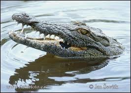 Le crocodile est un animal :