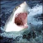 Que fait un requin quand il confond un nageur avec une proie ?